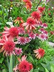 Echinacea «Irresistible» и  Echinacea  Butterfly Kisses..JPG