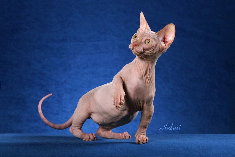 кошки бамбино похожи на инопланетян