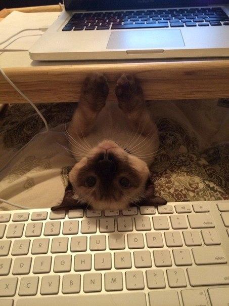 коты мешают человеку работать за компьютером 3