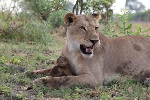 Львица оставила в живых детеныша бабуина 0 11e709 e76ab98d orig
