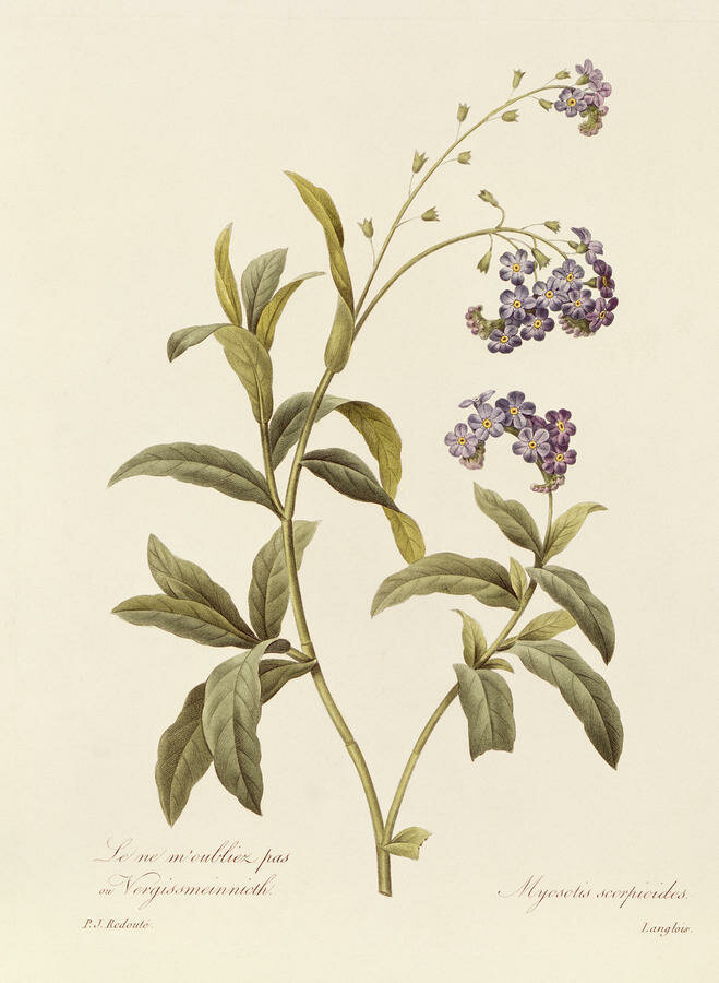 forget-me-not-pierre-joseph-redoute.jpg