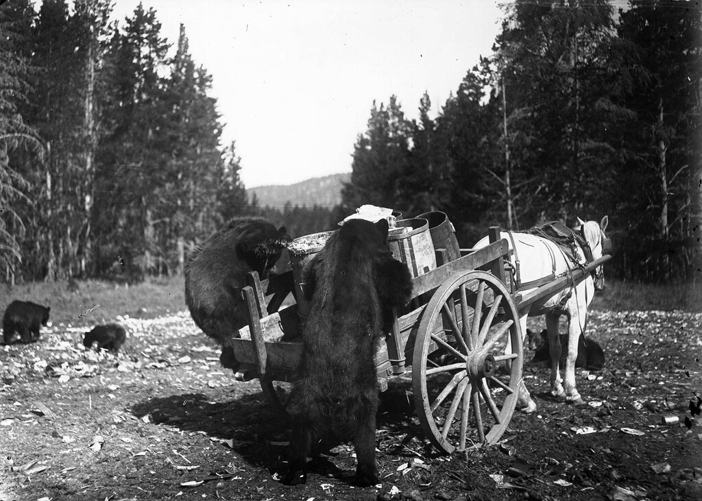 A horse harnessed to a cart stands patiently while black bears rummage through trash cans loaded on the cart platform in Yellowstone National Park. 1905