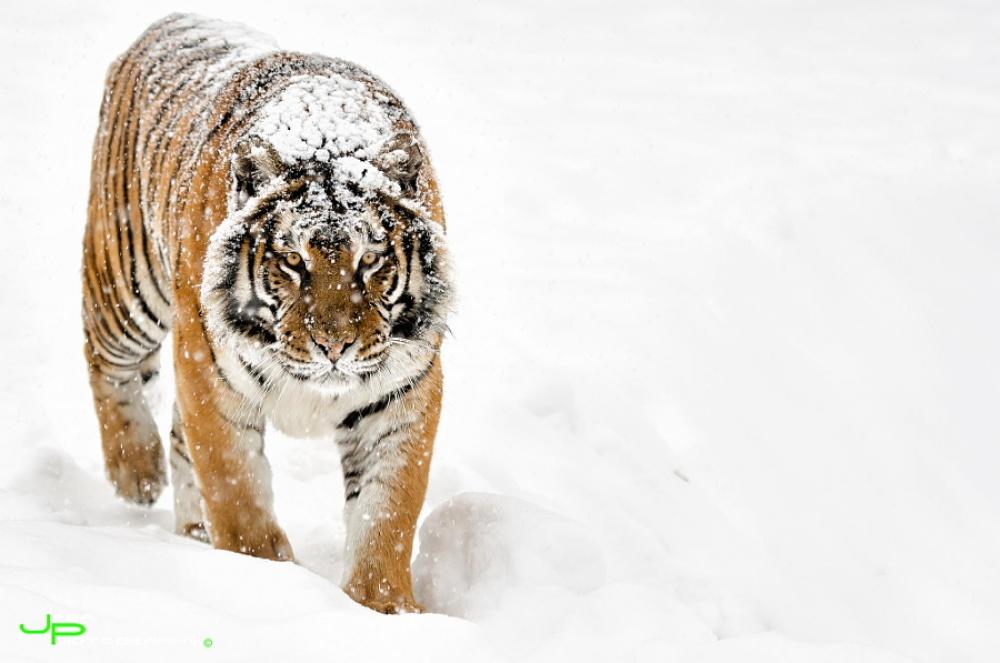 ©Toth Csaba Глаз тигра.