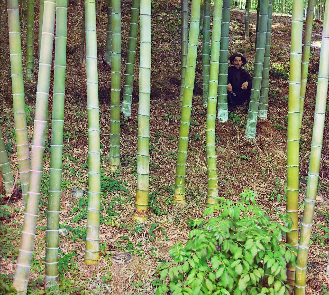 Окрестности Батума.  Чаква. Бамбук Моозо