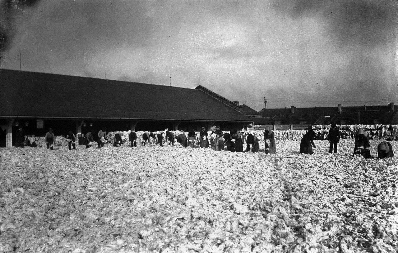 1890-1895. Сбор хлопка в Луизиане