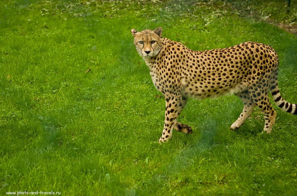 """13. Гепард. Где увидеть грозного хищника в Германии. Отзыв об экскурсии в зоопарк """"Опель""""."""
