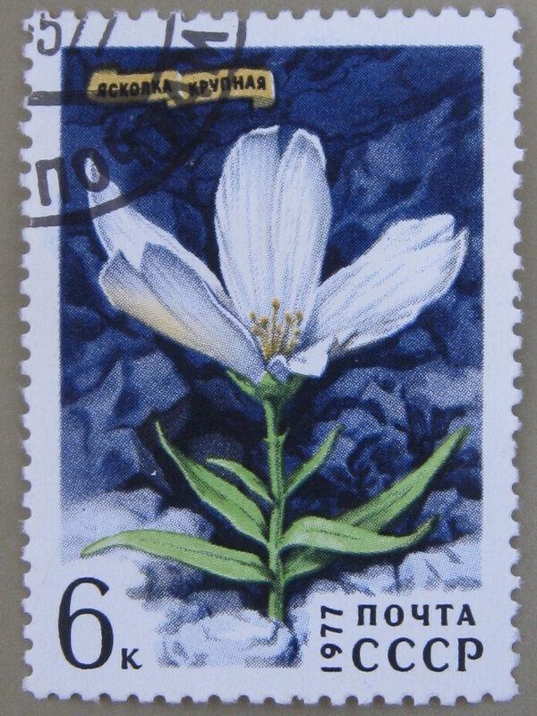 Ясколка крупная (Cerastium maximum).