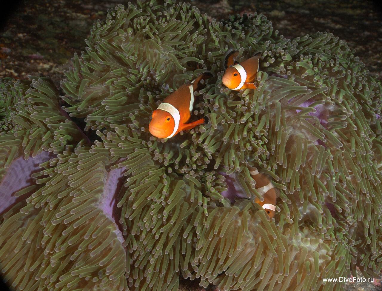 Оранжевые рыбы клоуны в анемоне фото