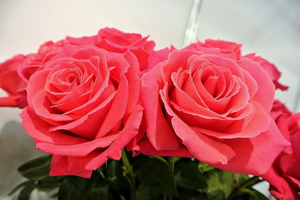 """Розы """"Pink Floyd"""""""