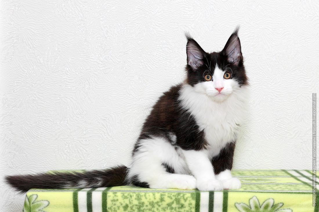 продажа в Москве котенок Мейн-кун