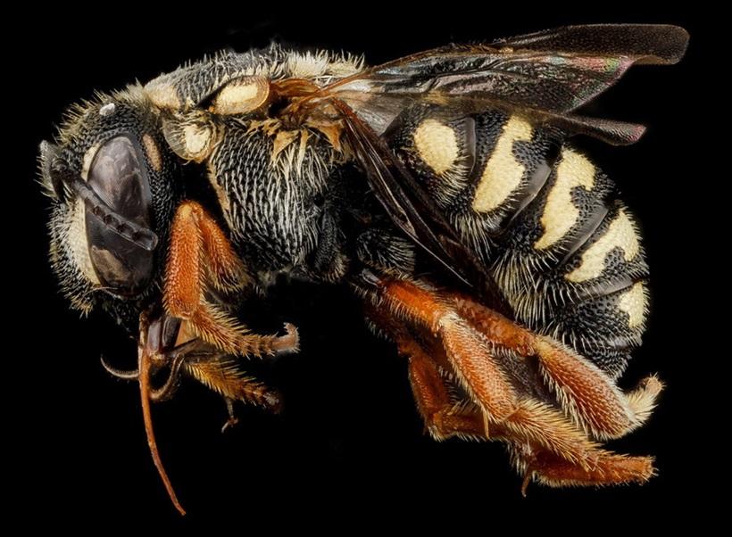 Макрофотографии разноцветных американских пчел 0 13d2a7 9405a643 orig