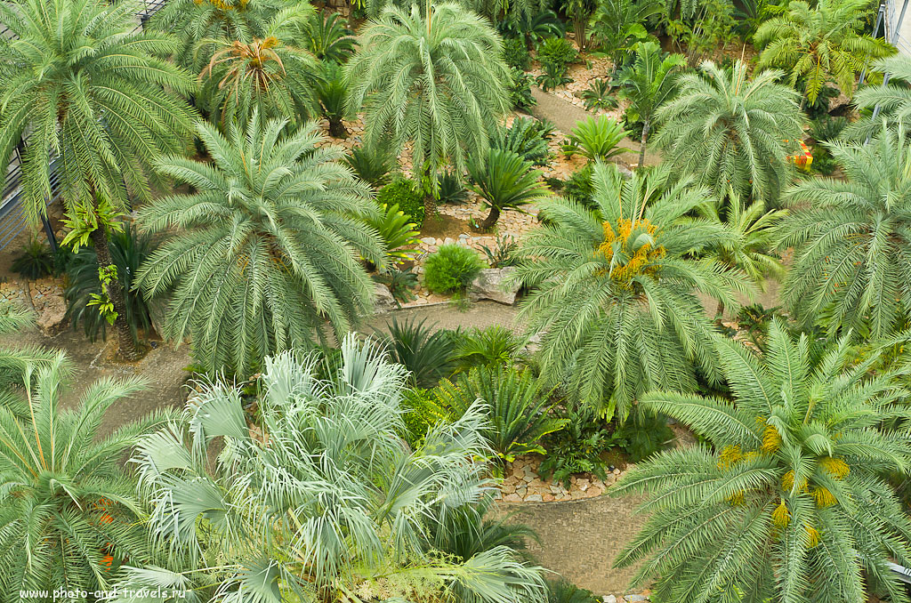 8. Финиковые пальмы (Phoenix palm на латыни). Вид сверху.