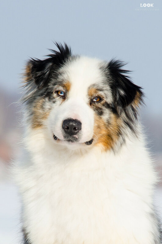 Мои собаки: Зена и Шива и их друзья весты - Страница 9 0_a81e9_47592334_XL