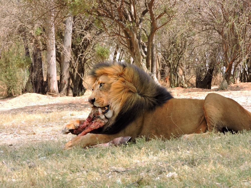 lions16.jpg