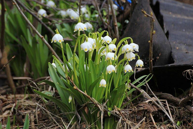 Белоцветник весенний (Leucojum vernum) - луковичный первоцвет с белыми цветками и жёлтыми кончиками лепестков