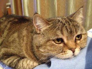 Кошка Лапуся