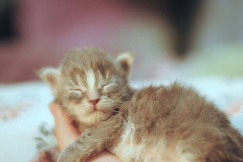 Кошечка мейн-кун Менвортс, Котята мейн-кун