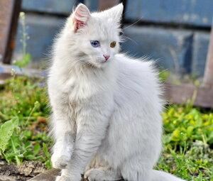 Белая кошка.