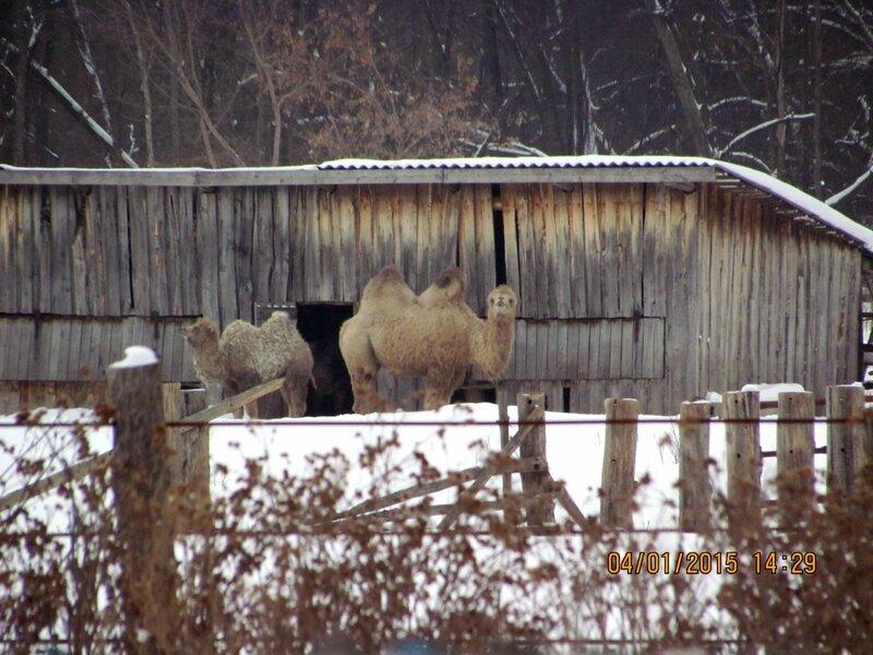 верблюды в Акбердино