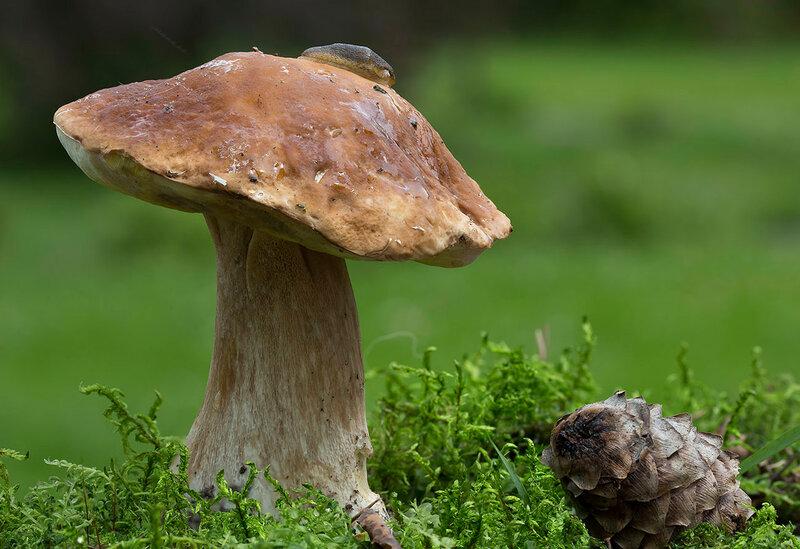 Белый гриб, улитка и шишка