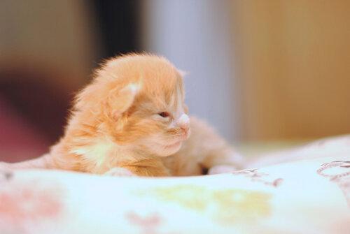 Котик мейн-кун Аурен, Котята мейн-кун
