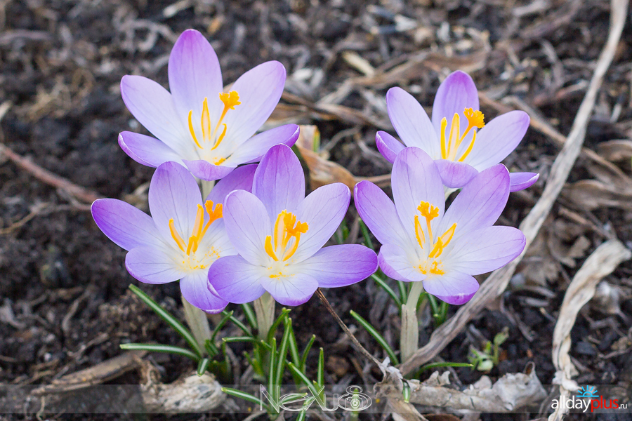 Я люблю все цветы, выпуск 142 | «Крокусы - солдатики весны».