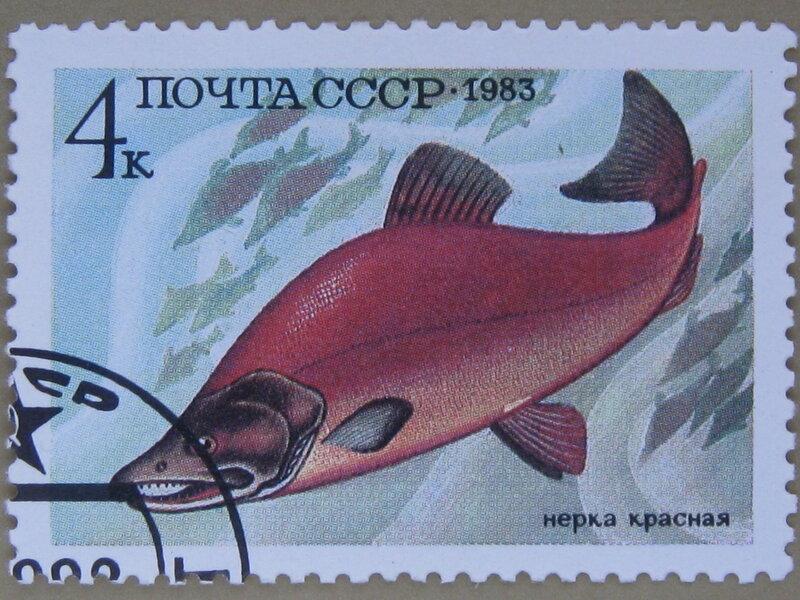 Нерка красная (Oncorhynchus nerka).