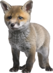 sd_woodland-winter-fox.png