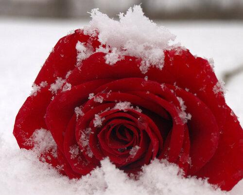 Роза в снегу.