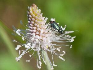 Малашка двупятнистая - Malachius bipustulatus (Malachiidae)Альбом:  Мир под ногами /  Жесткокрылые или жуки / Неразобранное в Жесткокрылые