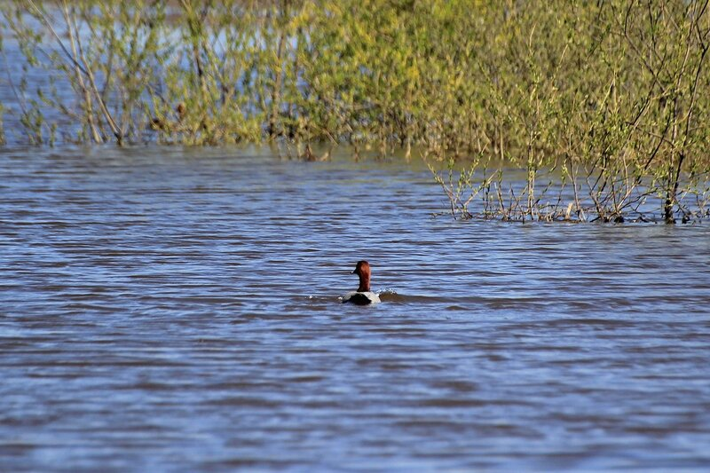 Свиязь на озере Просном во время половодья