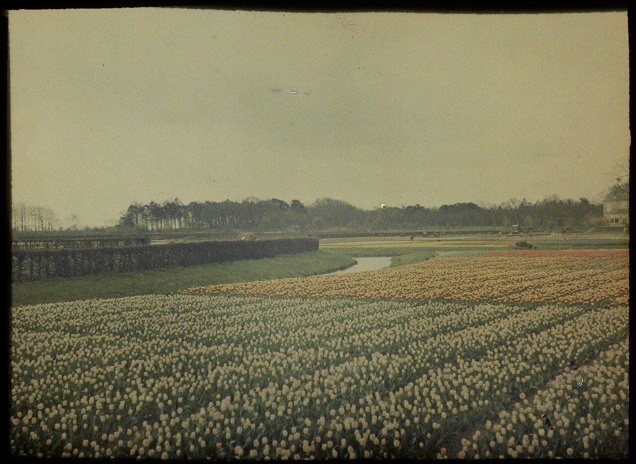 1907. Вид поля гиацинтов