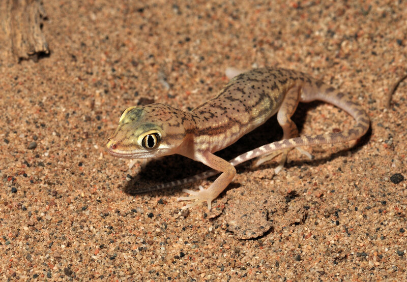 сцинковый гекон