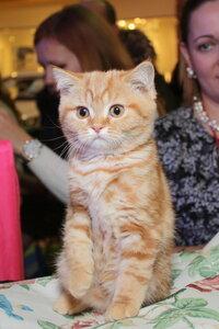 красный мраморный британский короткошерстный кот