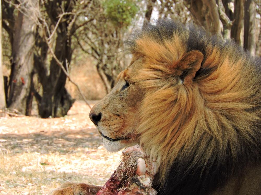 lions20.jpg