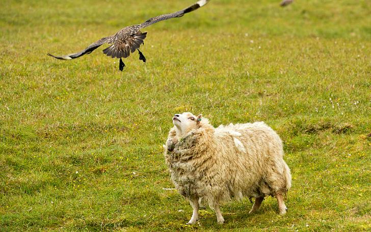 «Проваливай!»: большой поморник защищает птенцов от овцы (13 фото)