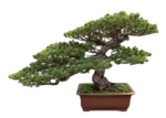 Bonsai Focus 100 ml b.png
