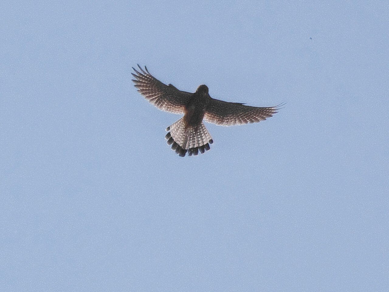Обыкновенная пустельга (Falco tinnunculus). Автор фото: