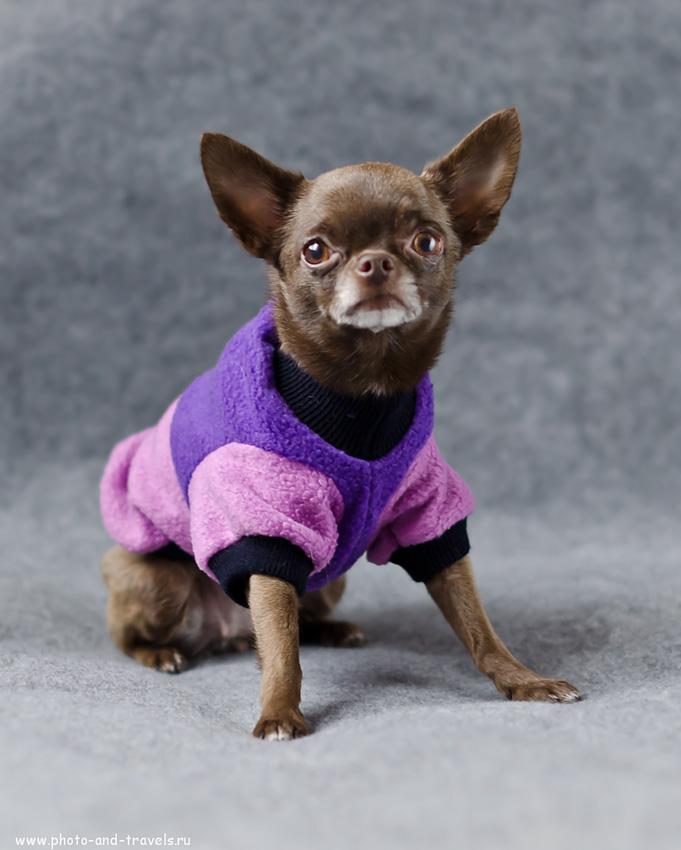 Фотография 3. Вот она какая Бетти. Съемка собак в домашних условиях для начинющих. Фотоуроки. (настройки зеркалки Nikon D5100 с объективом Nikon 50mm f/1.4G те же, что на предыдущем фото)