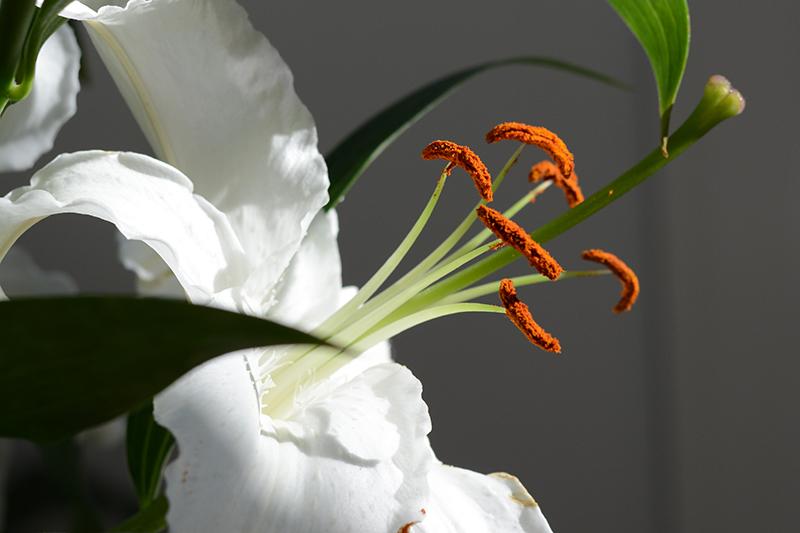 портрет лилии2