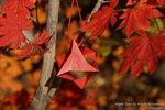 Maple Seed by Miyuki Kawamura