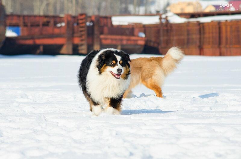 Мои собаки: Зена и Шива и их друзья весты - Страница 9 0_a840d_6d45c967_XL