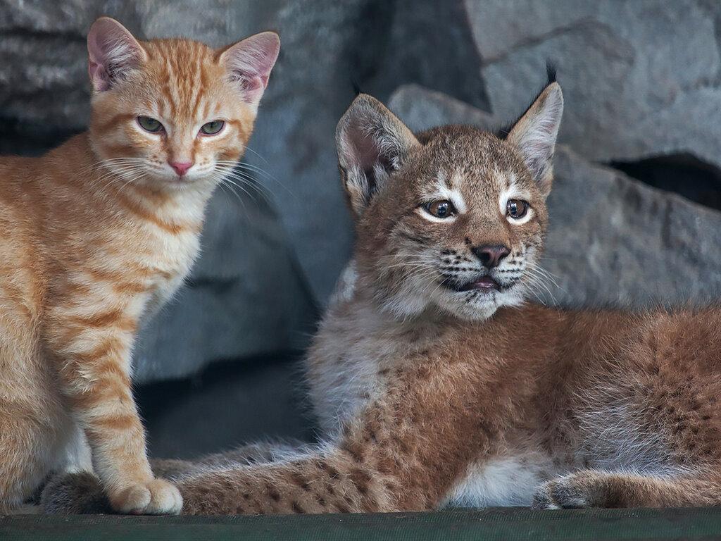Котенок и рысенок