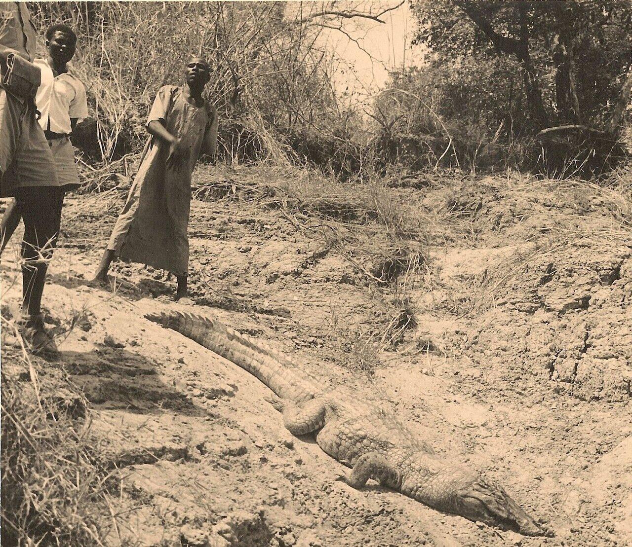 23. Крокодил и слуги в ожидании великого охотника