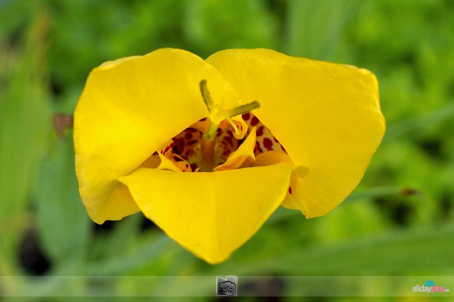 Я люблю все цветы, выпуск 134 | Один день из жизни тигридии.