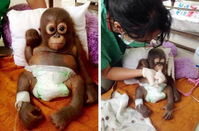 малыш орангутана