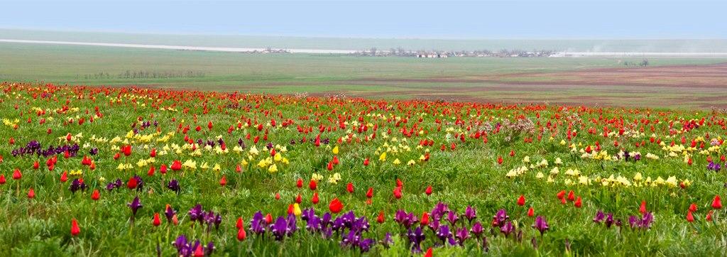 Цветение тюльпанов в Калмыкии.