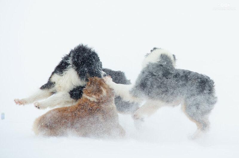 Мои собаки: Зена и Шива и их друзья весты - Страница 6 0_a76d5_47331e5e_XL