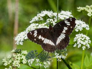 s:дневные бабочки,c:серовато-чёрные,c:c белыми пятнами,размах крыльев до 60 мм,l: переднего крыла до 30 мм