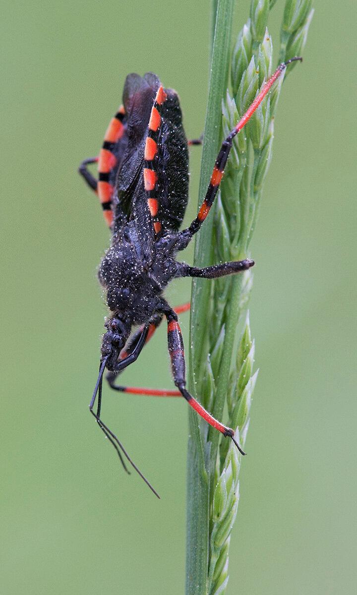 Хищнец кольчатый - Rhynocoris annulatus (Reduviidae). Автор фото: Владимир Брюхов